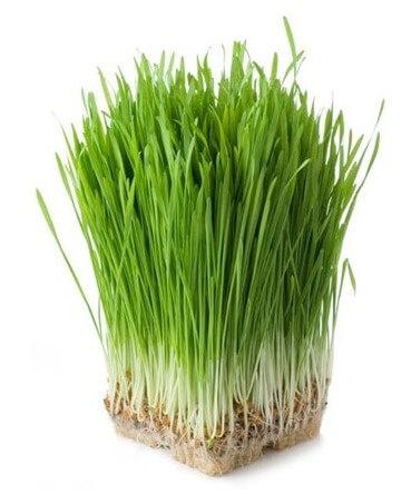 Means из ростков пшеницы зеленых Салат Tina